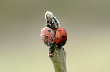 Two seven-spotted ladybirds, Coccinella septempunctata, on a twig covered with frost - MJOF000878