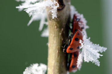 Three seven-spotted ladybirds, Coccinella septempunctata, on a twig with frost - MJOF000880