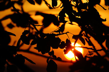 Germany, tree and leaves at sunset - HOHF001134