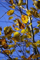 Germany, Hornbeam leaves in autumn - HOHF001136