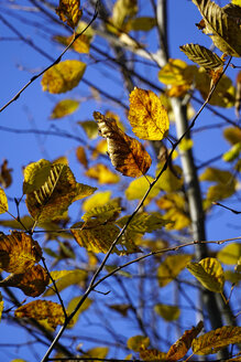 Germany, Hornbeam leaves in autumn - HOHF001136