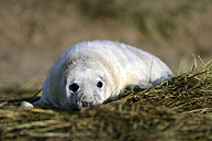 Grey seal, Halichoerus grypus, - MJOF000889