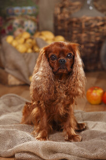 Cavalier King Charles Spaniel sitting on jute in front of peasant decoration - HTF000534