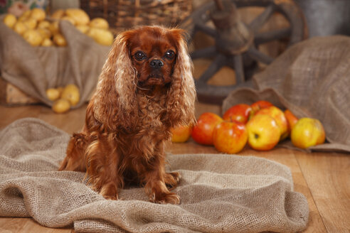 Cavalier King Charles Spaniel sitting on jute in front of peasant decoration - HTF000535