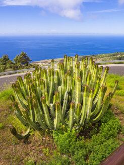 Spain, Canary Islands, La Palma, Canary Island Spurge at the coast of Garafia - AMF003260
