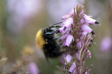 Bumblebee, Bombus, hanging at blossom - MJOF000891