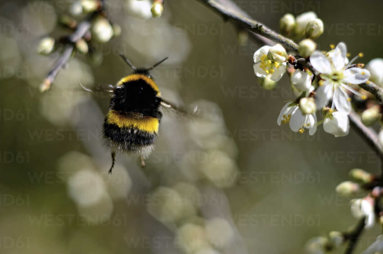 Flying bumblebee, Bombus, view from below - MJOF000895 - Mark Johnson/Westend61