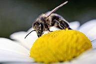 Honey bee, Apis, on a blossom - MJOF000897