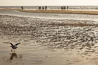 Netherlands, Bloemendaal, seagull on beach - FC000521