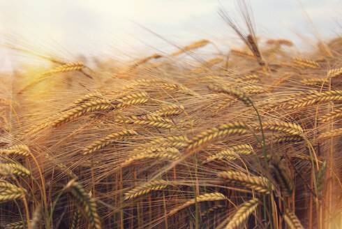 Barley field - LVF002313