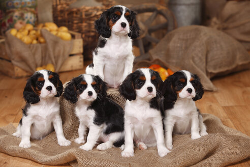 Five Cavalier King Charles Spaniel puppies - HTF000542