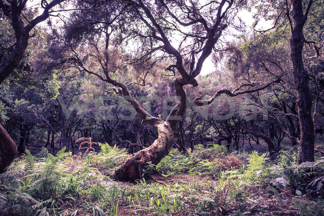Portugal, Madeira, laurel tree, Laurus nobilis, in the wood - VTF000350 - Val Thoermer/Westend61