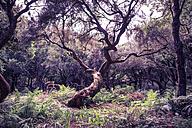 Portugal, Madeira, laurel tree, Laurus nobilis, in the wood - VTF000350