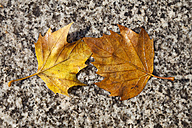 Two wet autumn leaves - WI001176