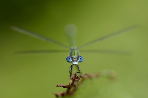 Emerald Damselfly, Lestes sponsa, in front of green background - MJOF000902