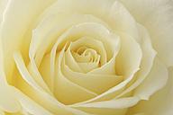 Cream coloured rose, Rosa, close-up - MJOF000904
