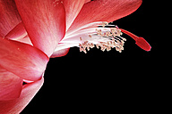 Blossom of Red Christmas cactus, Schlumbergera, in front of black background, close-up - MJOF000905