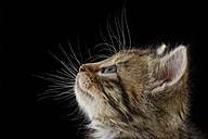 Profile of tabby kitten, Felis Silvestris Catus, in front of black background - MJOF000908