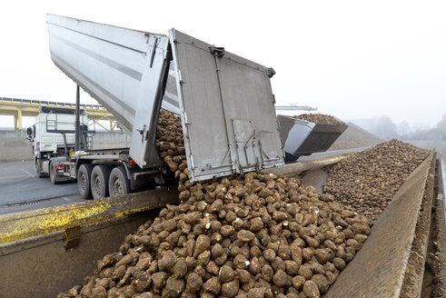 Delivery of sugar beets at a sugar mill - LYF000385