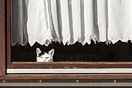 Germany, black and white cat looking through window - EVGF001091