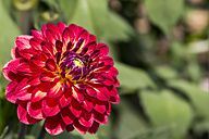 Close-up of red dahlia - MABF000276