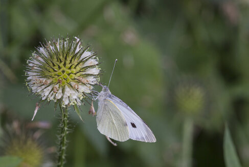 Close-up of cabbage white on flower - MABF000279