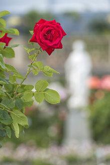 Germany, Baden-Wuerttemberg, Island Mainau, red rose in Italian Rose Garden - SHF001792