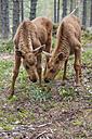 Sweden, Dalarna, juvenile elks in forest - JBF000151