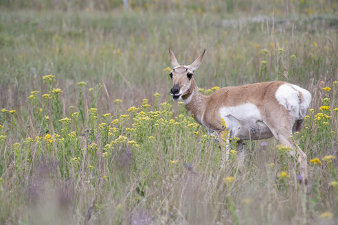 USA, South Dakota, Wind Cave National Park, Pronghorn - NNF000091