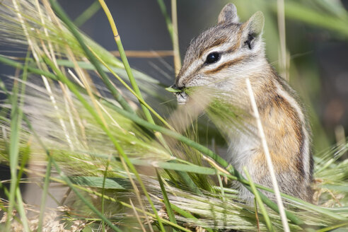 USA, Wyoming, Grand Teton National Park, squirrel eating - NNF000122