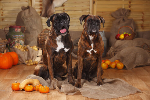 Portrait of two Boxers sitting on jute in between autumnal decoration - HTF000564