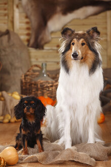 Cavalier King Charles Spaniel and American Collie sitting in an autumnal decorated barn - HTF000556