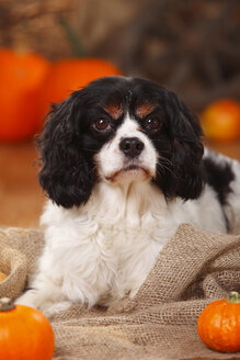 Portrait of Cavalier King Charles Spaniel in an autumnal decorated barn - HTF000553