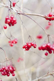 Twigs with berries of guelder-rose, viburnum opulus, in winter - CZF000183