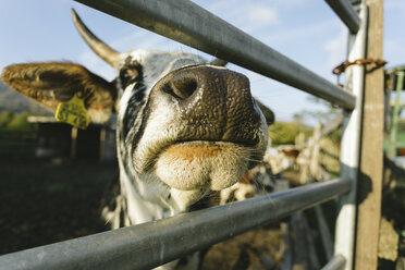 Snout of a cow - DWF000203