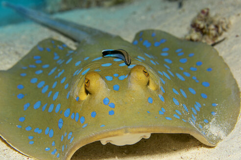 Egypt, Red Sea, Bluestreak cleaner wrasse, Labroides dimidiatus, sitting on Bluespotted ribbontail ray, Taeniura lymma - YRF000071