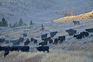 USA, Wyoming, Big Horn Mountains, a cowboy and a cowgirl herding cattles in open range - RUE001326