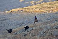 USA, Wyoming, Big Horn Mountains,  cowboy herding cattles in open range - RUE001327