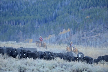 USA, Wyoming, Big Horn Mountains, cowboy and cowgirl herding cattles in open range - RUE001344