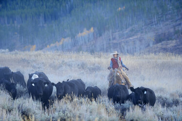 USA, Wyoming, Big Horn Mountains, cowgirl herding cattles in open range - RUE001346