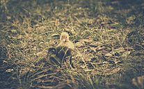 Duckling in gras, Patonga, New South Wales, Australia - SBDF001576
