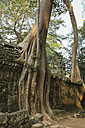 Cambodia, tree overgrowing wall in Ta Prohm temple complex - FCF000586
