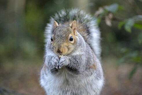 Grey squirrel, Sciurus carolinensis - MJO000914