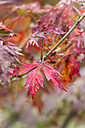 Red leaves of Fullmoon Maple - JUNF000134