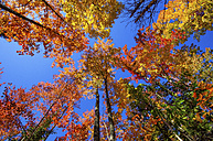 USA, Michigan, view to colourful treetops in autumn from below - SMAF000285