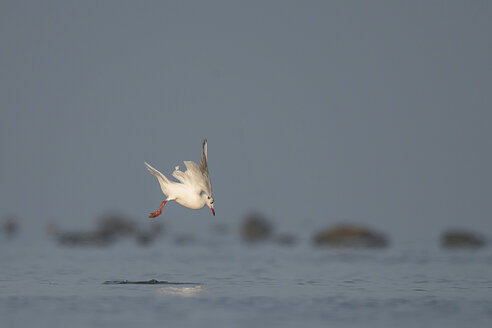 Germany, Schleswig-Holstein, Seagull, Laridae, flying - HACF000215
