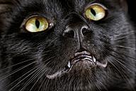 Face of black cat - MJOF000915