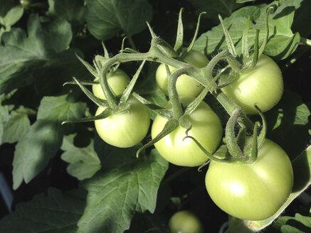 Greenhouse, Tomato plants - JEDF000211