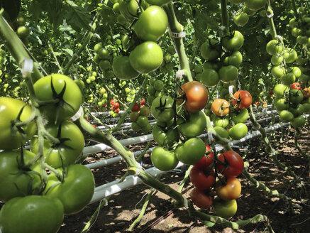 Greenhouse, Tomato plants - JEDF000224
