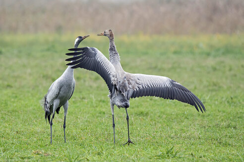 Crane couple on meadow - HACF000218
